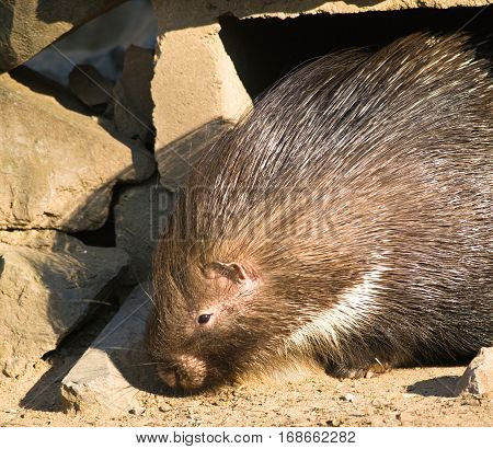 Indian crested porcupine looking for food - Hystrix indica