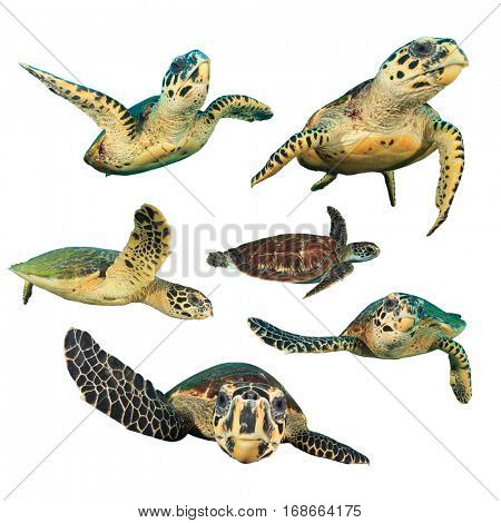 Sea Turtles. Hawksbill Turtle and Green Turtle cut outs. Turtles on white background
