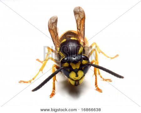 Close-up of a live Wasp