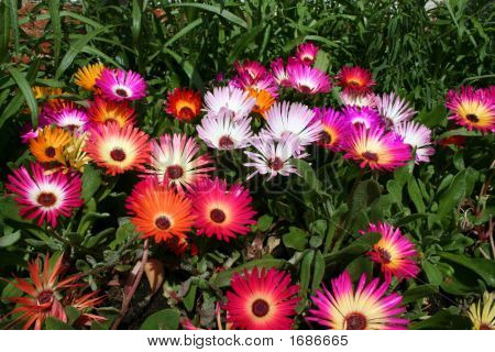Mesembryianthemums Dorotheanthus Livingstone Daisies