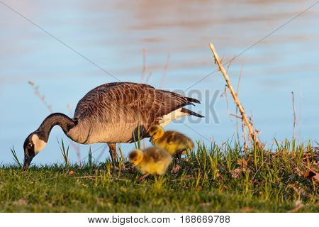 Canada Goose (branta canadensis) and goslings feeding next to a lake.