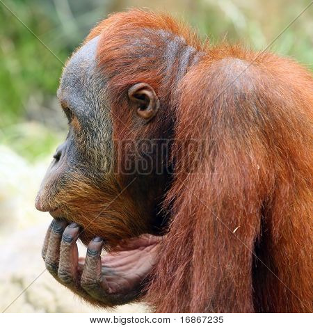 Looking orangutan in ZOO Prague - Czech Republic Europe