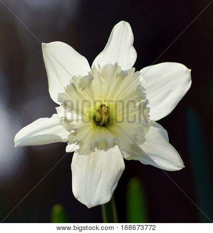 Closeup of White ruffled daffodil flower with interesting light