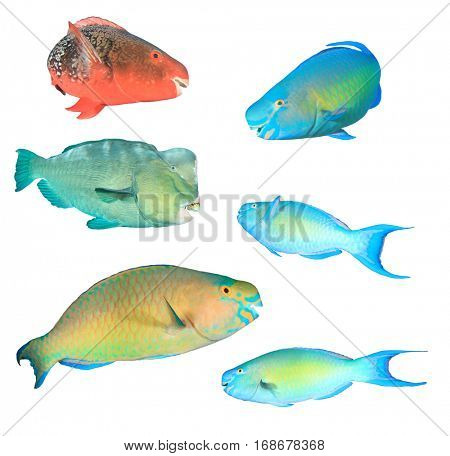 Indian Pacific Ocean Reef fish. Tropical fish collection. Parrotfish - Red, Steephead, Bumphead, Bullethead and Rusty Parrotfish. Fish isolated on white background