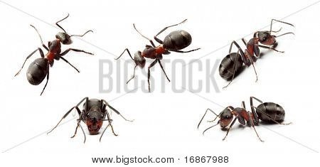 Big Forest Ant Collection Isolated on White Background
