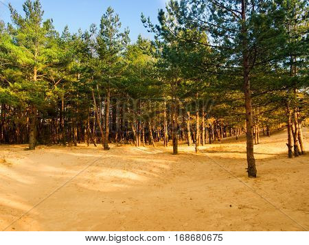 Pine trees growing out of the sand on the shore of the Gulf of Finland