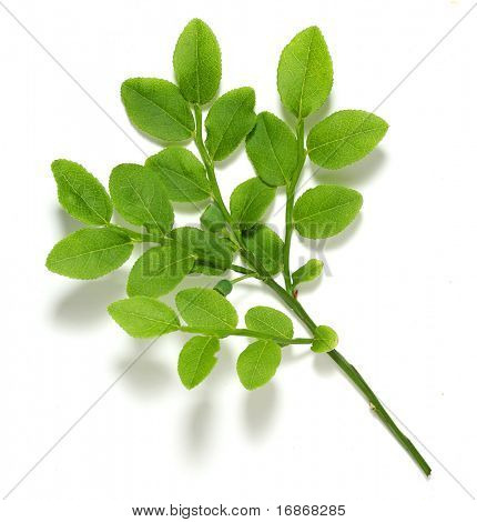 Vaccinium myrtillus - Bilberry Leaves - Traditionally the leaves have been used for astringent, tonic, anti-inflammatory, and antiseptic qualities.