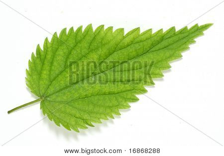 Urtica dioica - Stinging Nettle - A tea made from the leaves has traditionally been used as a cleansing tonic and blood purifier so the plant is often used in the treatment of hay fever, anaemia etc poster