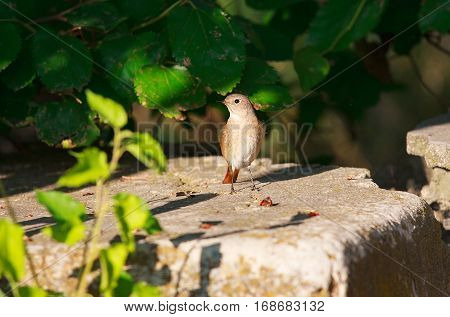 Nightingale in stone. Singing nightingale sits on a rock