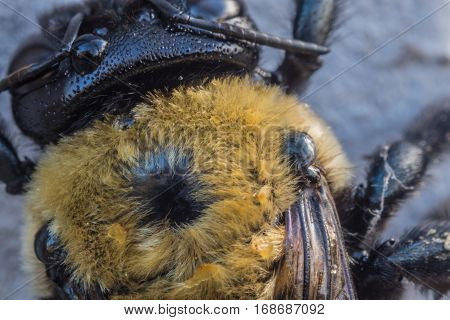 Fuzzy Yellow Back of Bee extreme close up