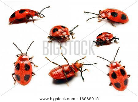 Ladybird in different positions in front of a white background poster