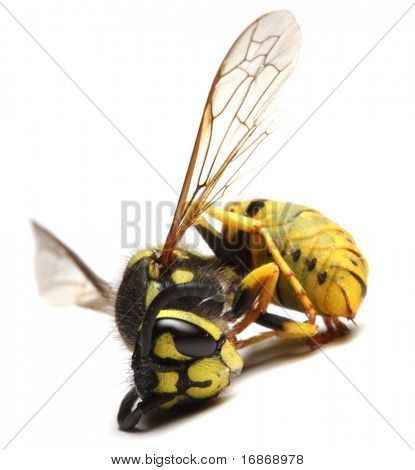 Close-up of a dead Yellow Jacket Wasp - environmental metaphor