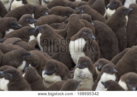 Rockhopper Penguin chicks (Eudyptes chrysocome) huddle together in a creche whilst their parents are away at sea feeding. Coast of Bleaker Island in the Falkland Islands.