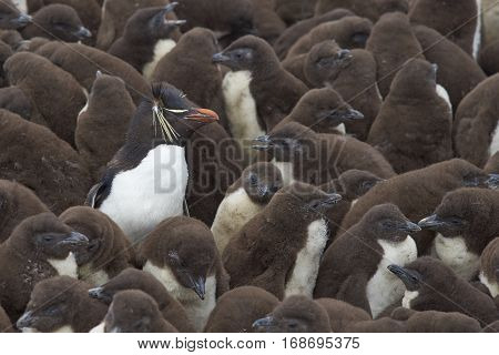 Adult Rockhopper Penguin (Eudyptes chrysocome) standing amongst a large group of nearly fully grown chicks on the cliffs of Bleaker Island in the Falkland Islands.