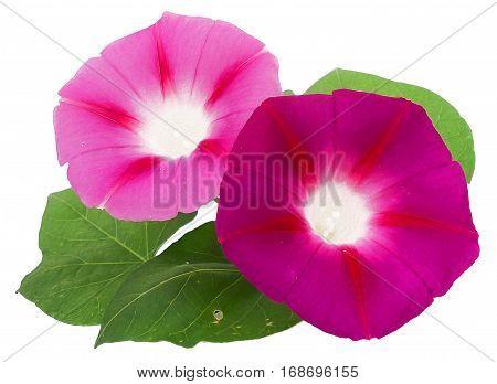 Morning Glory Fresh Pink Flower, Photo Manipulation