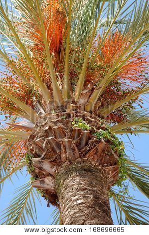 View from the bottom up of the crown of a date palm tree against the blue skies.