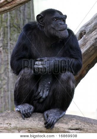 Portrait of a adult chimpanzee in Zoo Pilsen - Czech Republic - Europe poster