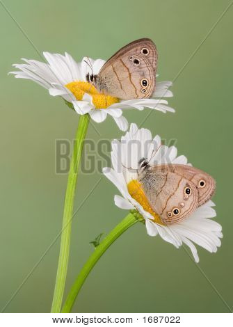 Two wood nymph butterflies are perched on daisies. poster