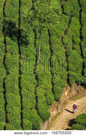 Munnar, India - January 6, 2016: Tea plantations in Munnar, Kerala, India