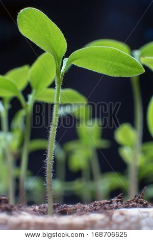 Young Seedlings In Springtime, Closeup.