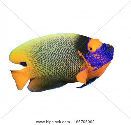 Tropical fish (Blue-cheek Angelfish) isolated on white background