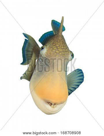 Fish isolated. Yellowmargin Triggerfish white background. Fish face portrait