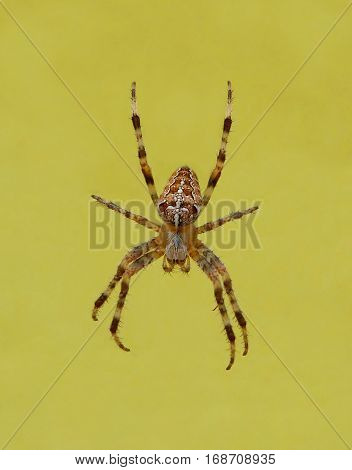Photo of a crowned orb weaver next to a yellow surface