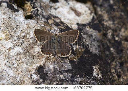Chalkhill Blue (Polyommatus coridon) butterfly female resting on a Rock