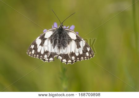 Marbled White (Melanargia galathea) butterfly resting on Field Scabious (Knautia arvensis)