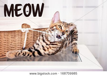 Cute cat playing at home and word MEOW on background