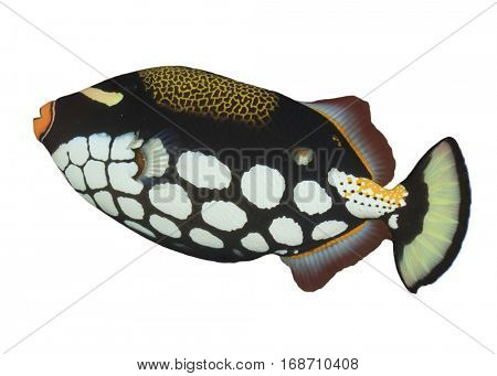 Fish isolated. Clown Triggerfish on white background