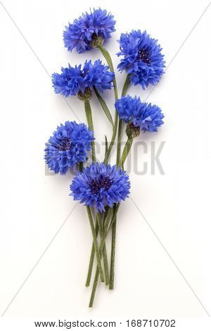 Blue Cornflower Herb or bachelor button flower bouquet isolated on white background cutout.