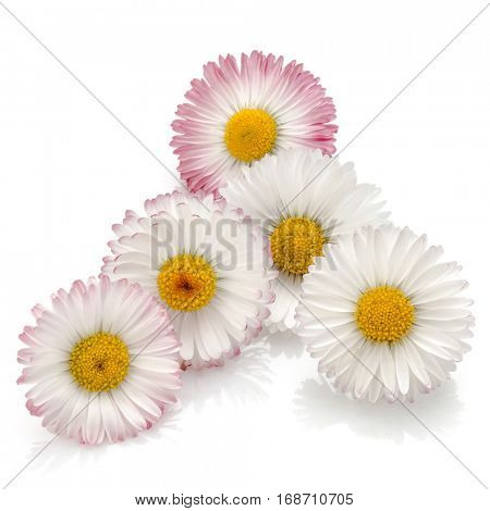 Beautiful daisy flowers isolated on white background cutout.