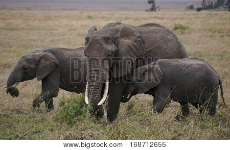 Mother and Two Young Elephants Walking Together on the African Plains