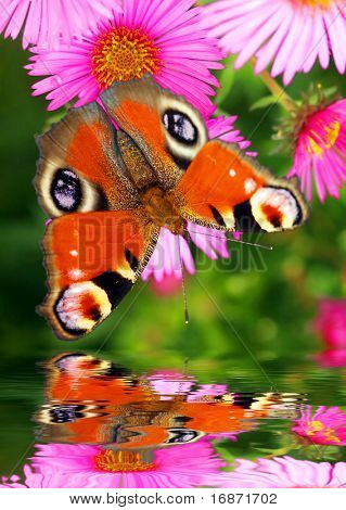 Butterfly over water level - garden pond poster