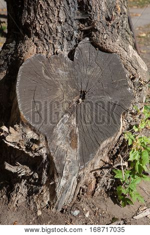 Heart sheaped tree stump with texture of wood Valentine heart