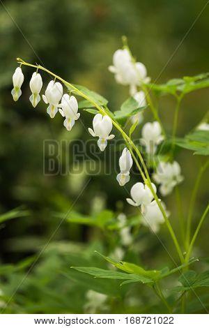 White bleeding heart flowers Dicentra spectabilis Alba in spring garden. selective focus