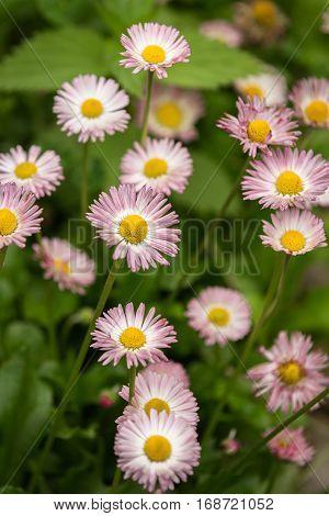 Pink marguerite flowers Bellis perennis in a garden