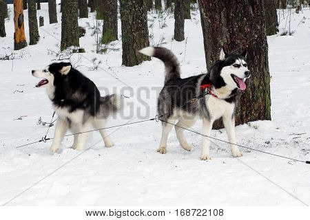 Working Husky and Malamute sled tied on a chain harness. Siberian dogs driven sleigh people in the North. Animals active dog sports at work in the winter.
