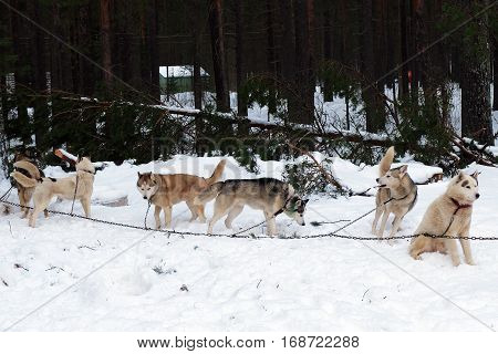 Team Husky sled tied on a chain harness. Siberian dogs Huskies driven sleigh people in the North. Animals active dog sports at work in the winter.