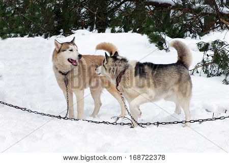 Working Husky sled tied on a chain harness. Siberian dogs driven sleigh people in the North. Animals active dog sports at work in the winter.