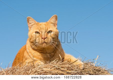 Ginger tabby cat in sunshine on top of a hay bale with blue sky background
