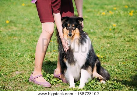 Rough Collie, Scottish Collie, Long-Haired Collie, English Collie Sitting At Feet Of Owner In Green Summer Grass.