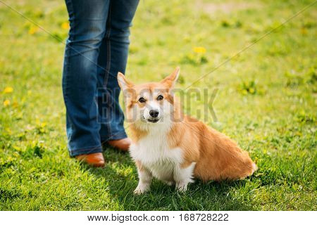 Pembroke Welsh Corgi Dog Puppy Sitting At Feet Of Owner In Green Summer Grass. The Welsh Corgi Is A Small Type Of Herding Dog That Originated In Wales