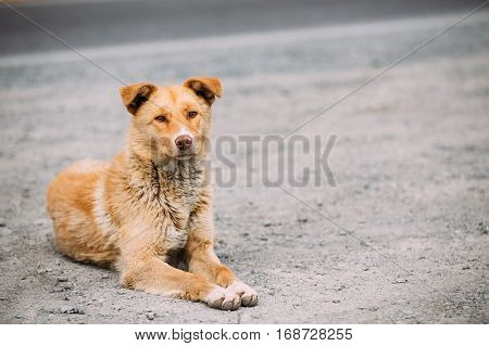 Red Medium Size Mixed Breed Homeless Dog Sit Outdoor On Street And Looking In Camera