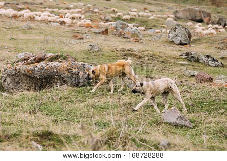 Two Central Asian Shepherd Dogs Herding Sheep In The Mountains Of Georgia. Alabai - An Ancient Breed From The Regions Of Central Asia. Used As Shepherds, As Well As To Protect And For Guard Duty.