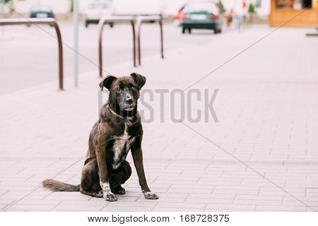 Black Medium Size Mixed Breed Homeless Dog Sit Outdoor On Street
