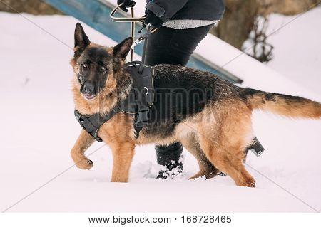 German Shepherd Dog Walking Near Owner During Training. Winter Season. Training Of Purebred Adult Alsatian Wolf Dog