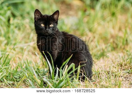 Black Cute Cat Kitten Pussycat Sit In Green Grass Outdoor At Sunny Summer Evening