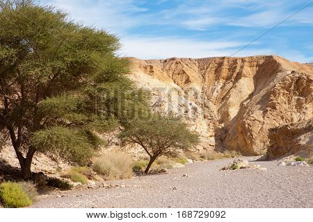 Acacia Trees at the entrance of Red Canyon tourist attraction Israel